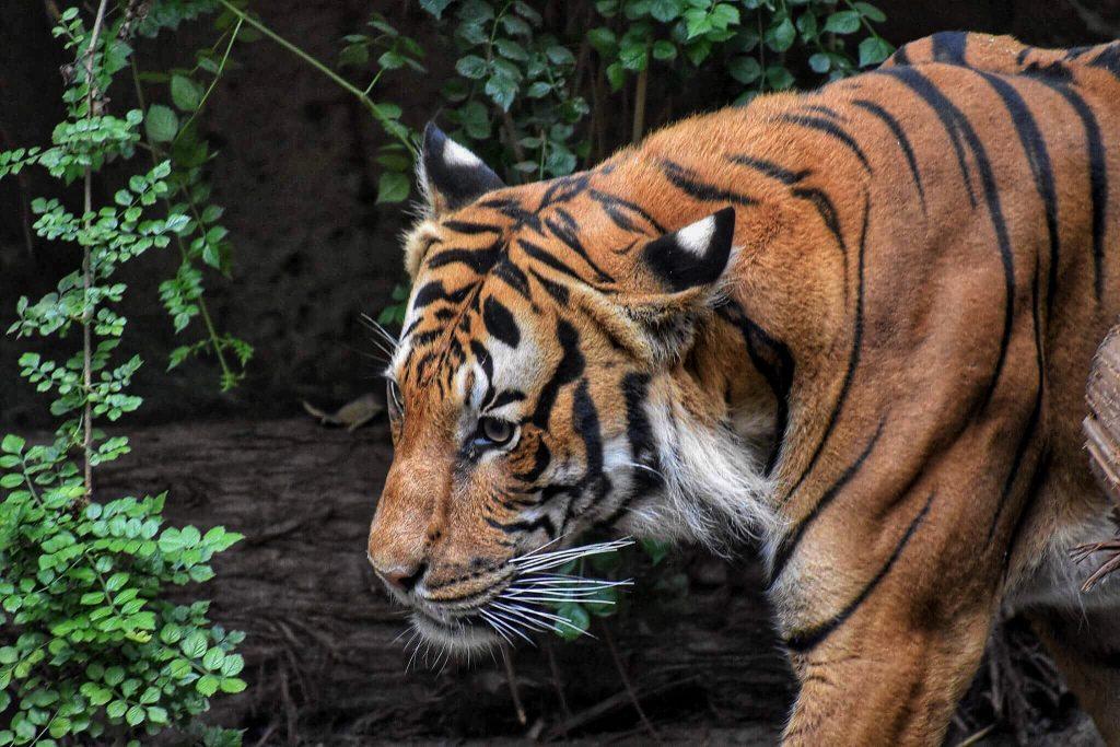 tiger senses world